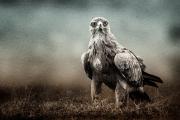 eagle stare texture blend