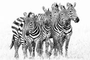 zebra quintet