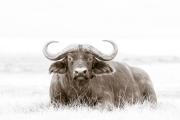 reclining buffalo with oxpecker