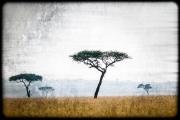 mellow mara acacias
