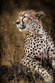 Chill Cheetah