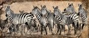 zebra herd rock texture blend