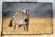 Scratched tin zebra