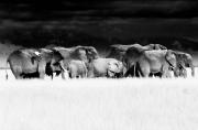 Amboseli herd with egret