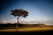 acacia sunset shadow