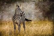 Zebra Tail Flick