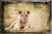 serene lioness