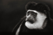 old man colobus 1