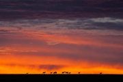 topi herd sunrise